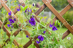 Sweet peas on the trellis Royalty Free Stock Photography