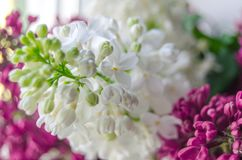 Lilac and syringa background. Spring blooming flowers detail. Naature photography Royalty Free Stock Photo