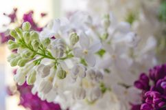 Lilac and syringa background. Spring blooming flowers detail. Naature photography Royalty Free Stock Photography