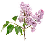 Lilac (Syringa) Branch On White Background Stock Photography