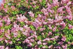 Lilac (Syringa) Stock Photo