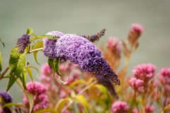 Lilac Syringa Flower Head. A Lilac Syringa flowerhead with other out of focus flowers in the background Royalty Free Stock Photo