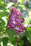 Lilac (syringa) flowers Royalty Free Stock Photo