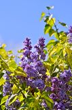 Lilac - Syringa Flowers Royalty Free Stock Image