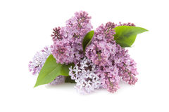 Lilac (Syringa vulgaris) Royalty Free Stock Images