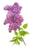 Lilac (Syringa vulgaris) Stock Photography