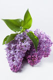 Lilac (Syringa vulgaris) Royalty Free Stock Photos