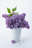 Lilac (Syringa vulgaris) Stock Photo