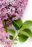 Lilac (Syringa vulgaris). Blooming lilac flowers (Syringa vulgaris stock photos