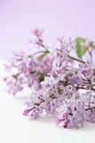 Lilac (Syringa vulgaris) stock photos