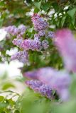 Lilac Syringa vulgaris in the spring park. royalty free stock photos