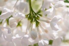 Lilac (Syringa). White lilac (Syringa) - macro shot Stock Photography