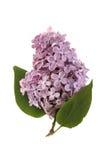 Lilac tak Stock Fotografie