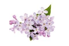 Lilac tak Stock Foto's