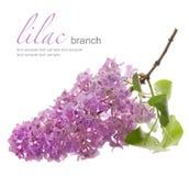 Lilac tak met blad Royalty-vrije Stock Afbeeldingen