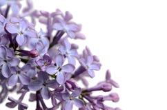 Lilac tak op de witte achtergrond Stock Foto