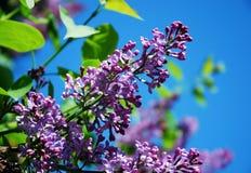 Lilac tak tegen blauwe hemel Royalty-vrije Stock Afbeelding