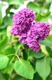 Lilac tak tegen de achtergrond van groene bladeren royalty-vrije stock afbeelding