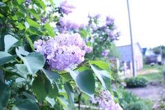 Lilac takken Royalty-vrije Stock Afbeeldingen