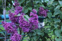 Lilac takken Royalty-vrije Stock Afbeelding