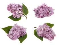 Lilac takken Royalty-vrije Stock Foto's