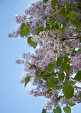 Lilac tree Royalty Free Stock Image