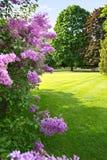 Lilac tree against park landscape. Lilac tree against sunny, spring park landscape stock images