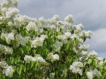Lilac tree. Royalty Free Stock Photography