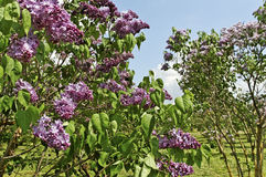 Lilac tree. Royalty Free Stock Images