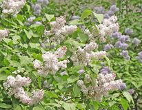 Lilac tree in bloom. A beautiful spring lilac tree in bloom Stock Image