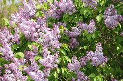 Lilac tree in bloom Royalty Free Stock Image
