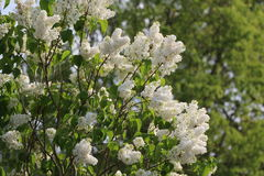 A lilac tree in bloom. A beautiful tree with green leaves and white flowers Stock Photography