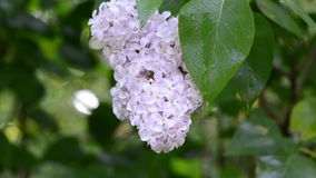 Lilac tree bloom dew. Closeup of wet lilac tree bloom covered with early morning dew water drops in garden park stock video footage
