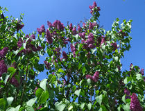 Lilac tree blossoming Royalty Free Stock Photography