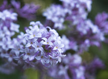Lilac tree branch Stock Image