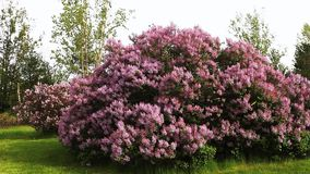 Lilac tree in colorful bloom stock video