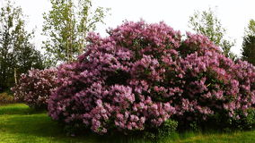 Lilac tree in colorful bloom. A Lilac tree in colorful bloom stock footage