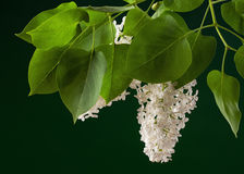 Lilac tree on dark green background Royalty Free Stock Image