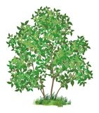 Lilac tree and green grass Royalty Free Stock Photo