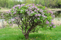Lilac tree Royalty Free Stock Images