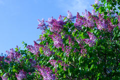 Lilac tree at sunset. Royalty Free Stock Photos