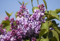 Lilac trees blooming. Color photo taken in Gorky park in Moscow. Green blurred background stock photography