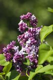 Lilac trees blooming. Color photo taken in Gorky park in Moscow. Green blurred background stock image