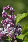 Lilac trees blooming. Color photo taken in Gorky park in Moscow. Green blurred background royalty free stock photos