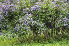 Lilac trees blooming in the Park. Royalty Free Stock Images