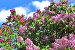 Lilac trees. Taken in Lilac garden in Moscow. Stock Photo