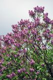 Lilac trees. Taken in Lilac garden in Moscow. Stock Photography