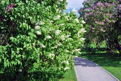Lilac trees. Taken in Lilac garden in Moscow. Stock Photos