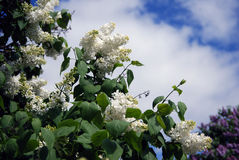 Lilac trees. Taken in Lilac garden in Moscow. Royalty Free Stock Photo