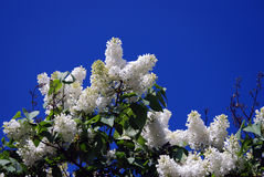 Lilac trees. Taken in Lilac garden in Moscow. Royalty Free Stock Images